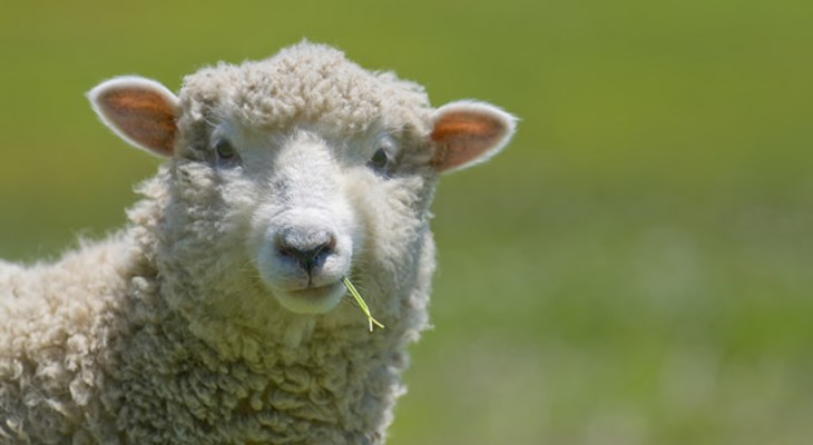 sheep-closeup-eating-grass.jpg?anchor=ce